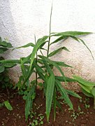 ginger plant, Zingiber officinale
