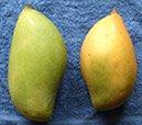 totapuri mangoes