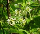 white mulberry flowers