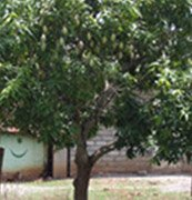 Mango tree-Mangifera indica