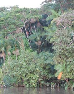 acai-plam harvesting-amezon forest