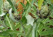 Artichoke buds
