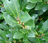 bay laurel plant