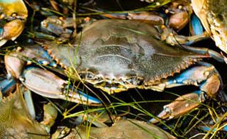 Blue crab-Callinectes sapidus