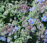 borage herb