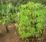cassava and taro