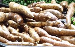 yuca or cassava root