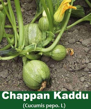 Chappan kaddu