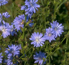 Chicory Root Nutrition Facts And Health Benefits
