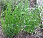 chives -allium schoenoprasum