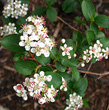 chokeberry-bloom