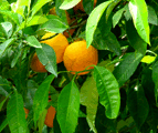 citrus paradisi, grapafruit tree