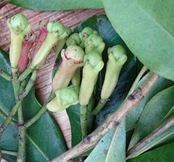 clove buds green