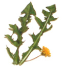dandelion-herb