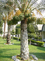 date-palm tree