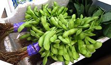 edamame beans on a plant