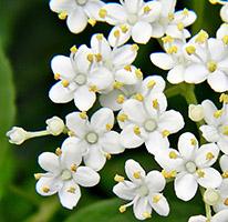 beautiful cream white elderberry flowers