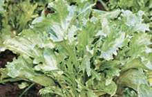 endive plant with blanched leaves