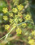 foeniculum-vulgare
