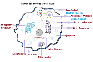 what are free radicals what role they play in human diseases diagram of a cell pdf diagram of nerve cell organelles