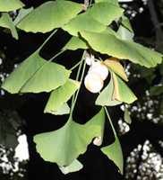 ginkgo fruits in a tree