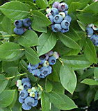 highbush blueberry plant. vaccinium corymbosum shrub