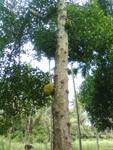 jackfruit-tree