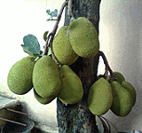 jackfruit tree bearing fruits