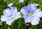 linseed flower