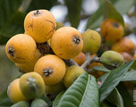 loquats in bunch