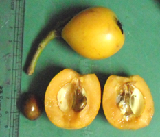 loquat fruit internal structure and seeds