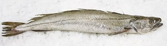 European Hake fish