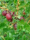 purple-red-gooseberries