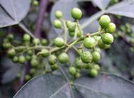 raw green Sichuan peppercorn berries