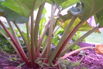 rhubarb plant -Rheum rhabarbarum.