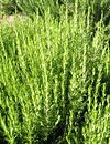 rosemary herbal plant