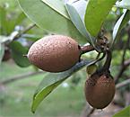sapodilla plant