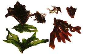 Edible seaweeds