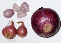 shallots and onion- a comparison in size