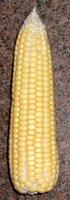 sweet corncob