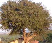 tamarindus indica, tamarind tree