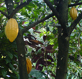 Cocao tree and pods