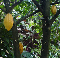 Theobroma cocoa plant with pods