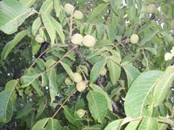 walnut-fruits-on-a-tree