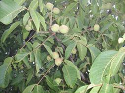 walnut fruits in a tree