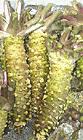 Wasabi-Japanese horseradish