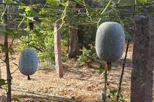 Ash gourd in pole grown