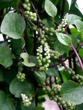 basella -malabar spinach