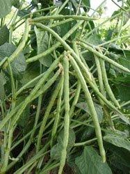 black-eye-pea-plant