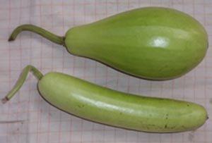 Bottle gourd -calabash